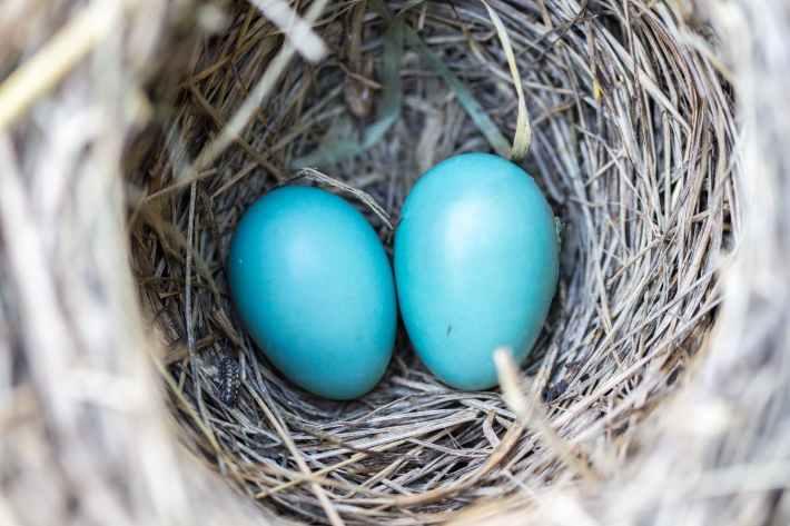 mustarastaan munat